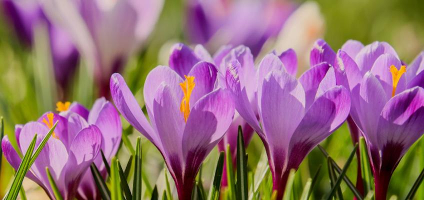 Crocus - printemps - mars